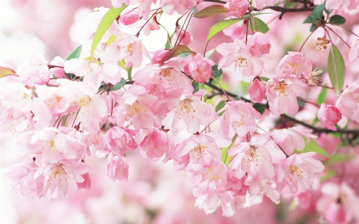 Cherry-blossom-petals-pink-spring_1440x900_th